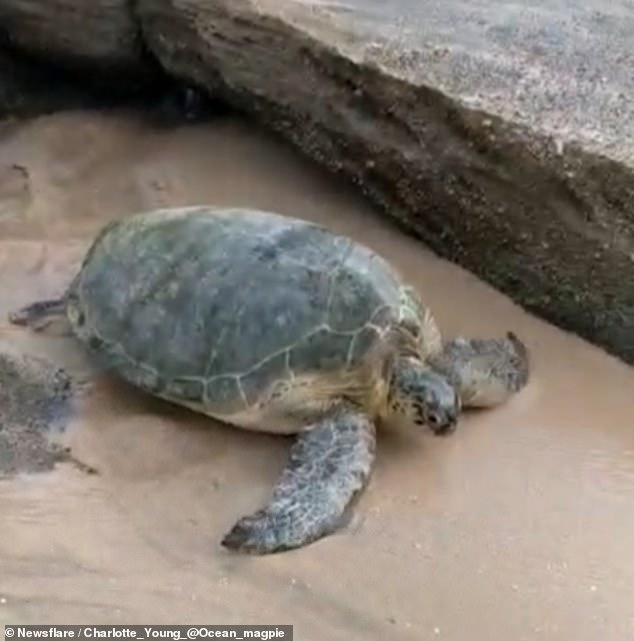 Giờ thì cô rùa xanh may mắn đã có thể về với biển.