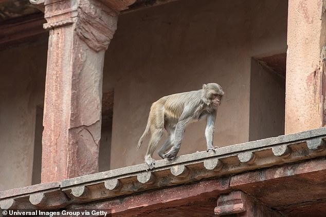 Khỉ trèo lên mái nhà khiến gạch rơi xuống đất, người lớn không dám để trẻ con ra đường. Ảnh: Daily Mail.