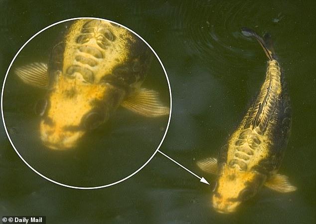 """""""Vào năm 2010, một người đàn ông 44 tuổi ở Anh cũng từng phát hiện con cá chép mình nuôi dần có những đặc điểm trên mặt giống mắt, mũi, miệng của con người."""