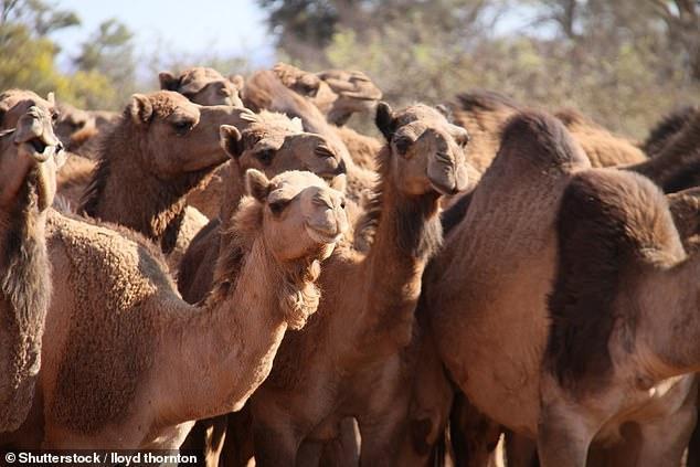 Hơn 10.000 con lạc đã sẽ bị thủ tiêu trên khắp Australia trong bối cảnh cháy rừng đang diễn ra nghiêm trọng.