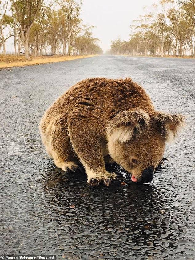 Chú gấu túi nhỏ phải liếm nước mưa trên đường vì khát.