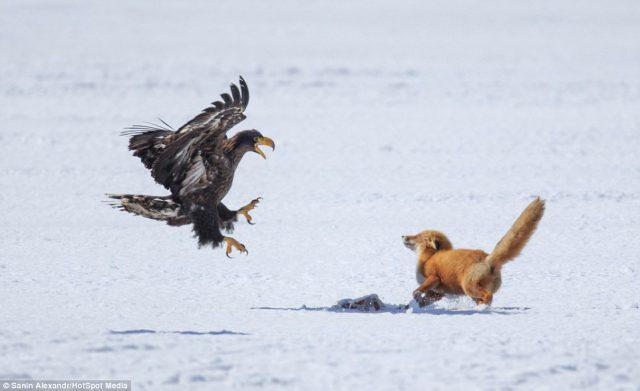 Tuy nhiên, vì đối thủ quá mạnh, con cáo đành đặt miếng mồi trên nền tuyết để tập trung chiến đấu.