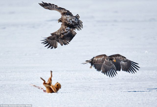 Con cáo bị cặp đại bàng hiếu chiến hất văng trên nền tuyết lạnh.