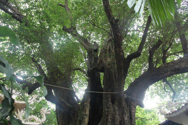 Phần ngọn cây thị cổ thụ chẻ ra nhiều nhánh tỏa ra các phía