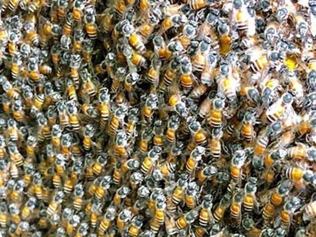 Quảng Ngãi: Độc đáo đàn ong rú khoét ruột cây cảnh bé tẹo để làm tổ ảnh 6