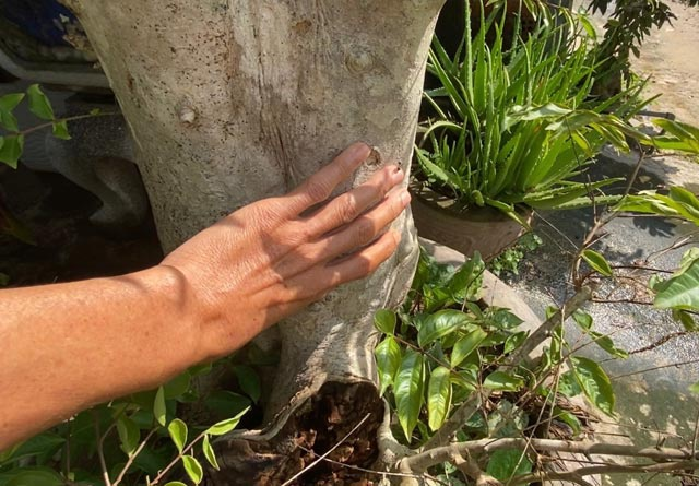 Phần gốc, nơi to nhất của cây nhưng đường kính ước chỉ khoảng 20cm, nơi đàn ong rú làm tổ.