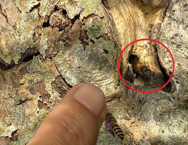 Quảng Ngãi: Độc đáo đàn ong rú khoét ruột cây cảnh bé tẹo để làm tổ ảnh 4