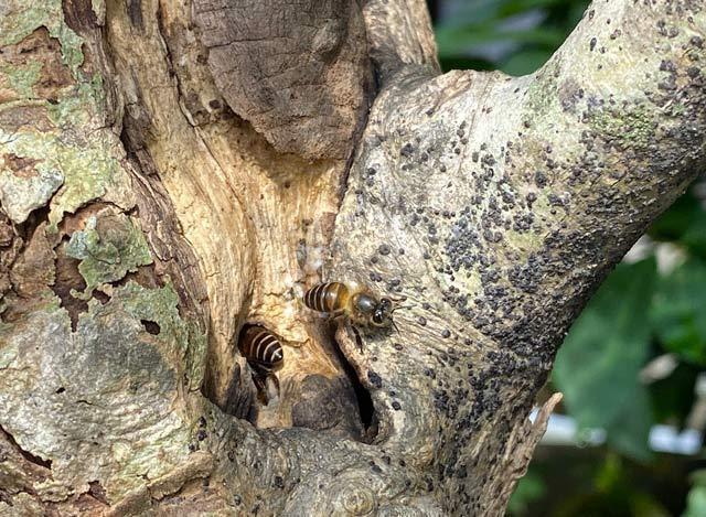 Cây bằng lăng của anh Hùng, nơi đàn ong rú làm tổ.