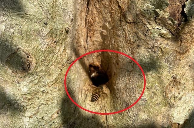 Quảng Ngãi: Độc đáo đàn ong rú khoét ruột cây cảnh bé tẹo để làm tổ ảnh 3
