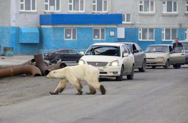 Con gấu cái trông mệt mỏi đi lang thang ở vùngngoại ô của thành phố Norilsk. Ảnh: Reuters