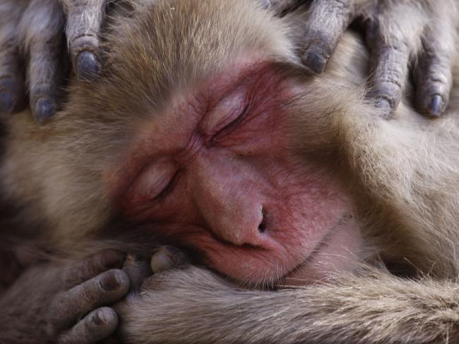 Hình ảnh chú khỉ Nhật Bản đang chìm trong giấc ngủ bình yên dưới ống kính của nhiếp ảnh giaLance McMillan.
