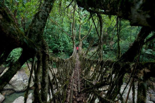 Cây cầu ở Nongriat, Ấn Độ, được làm từ rễ cây sống nên không lo bị nước lũ cuốn trôi.