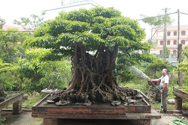 """Tác phẩm sanh cổ, quý hiếm có tên """"Ngũ phúc lâm môn"""" của ông Phạm Lân (Thanh Trì, Hà Nội) được coi là cây sanh hiếm có khó tìm bởi cây hội tụ đủ 4 yếu tố cổ – kỳ – mỹ – văn."""