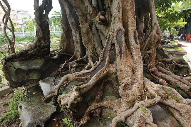 Sau nhiều năm, nhiều rễ phục bám vào thân nhìn như một bức tường thành vững trãi. Khi tưới nước vào cây, toàn bộ rễ, thân cây ánh lên một màu đồng đẹp mắt – chỉ những cây sanh nguyên bản, nhiều năm tuổi mới có đặc điểm này.