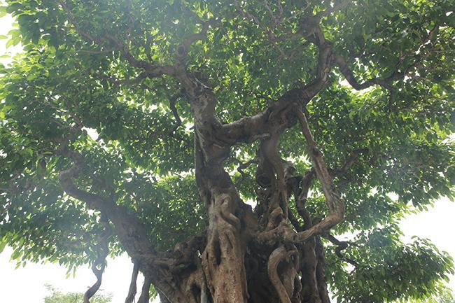 Bông tán được làm theo lối tản vân, không tán nào trùng nào nào đó là cái đẹp của cây. Nhìn xa, trông tổng thể của cây thì tán cây vẫn che được nắng, mưa.