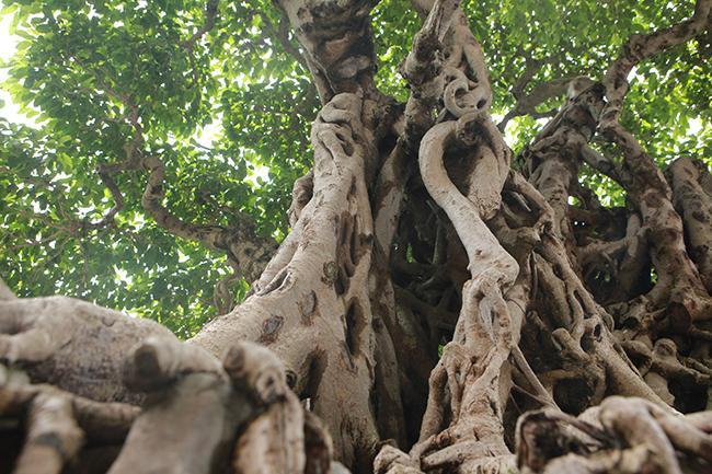 Bên trong thân có những khoảng hở như hang động khiến cây sanh trở nên kì thú.