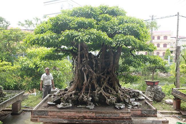 """Chủ nhân của tác phẩm cho biết, khoảng 2 năm nữa cây sẽ hoàn thiện và hứa hẹn là một trong những cây sanh """"Ngũ phúc"""" đẹp nhất Việt Nam."""
