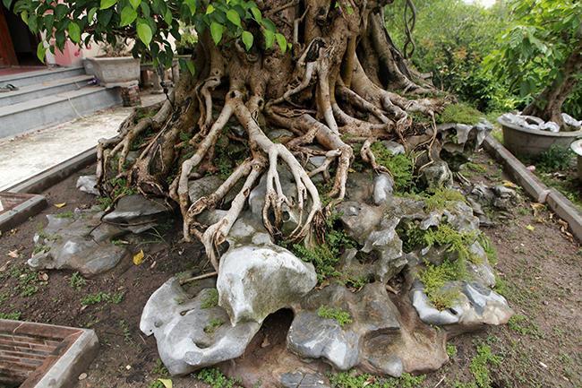 Cây được ký (trồng) trên đá xanh trơn lũa hình cụ rùa, nghệ nhân phải làm 40 công mới xong. Cụ rùa bằng đá có đầy đủ bộ phận như đầu, mai, chân và đuôi…