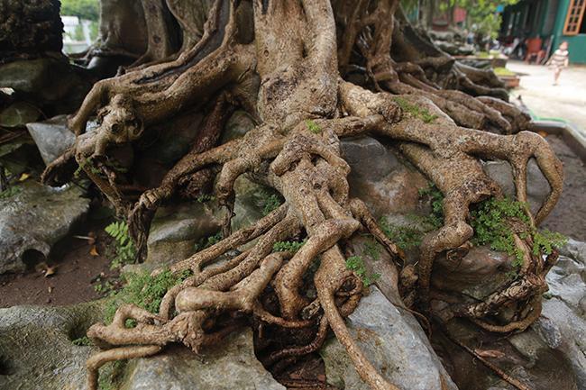 Bộ rễ cây lan tỏa xung quanh, bám vào đất, đá rất vững trãi, nhìn như những củ nhân sâm nhiều năm tuổi bám trên đá.