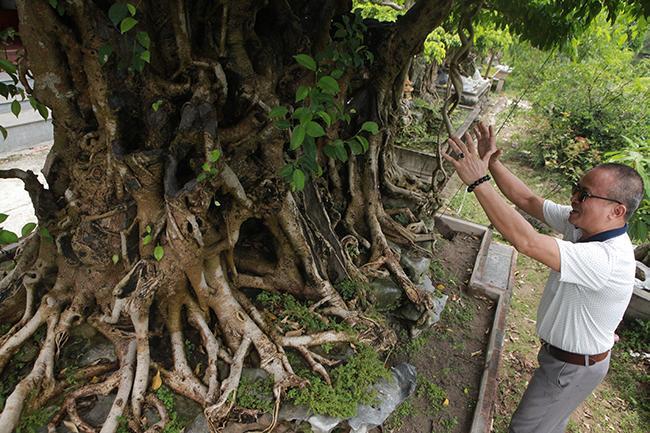 Bộ rễ nổi u cục nhưng nhìn lại rất mịn.