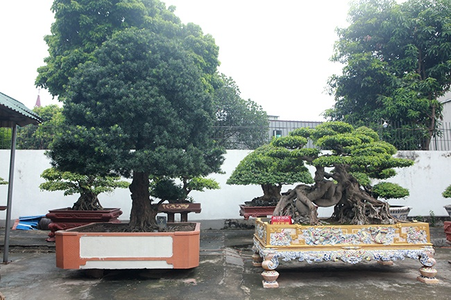 """""""Siêu cây"""" tùng la hán hiện nằm trong vườn cây di sản của anh Phan Văn Toàn (TP. Việt Trì, Phú Thọ)."""