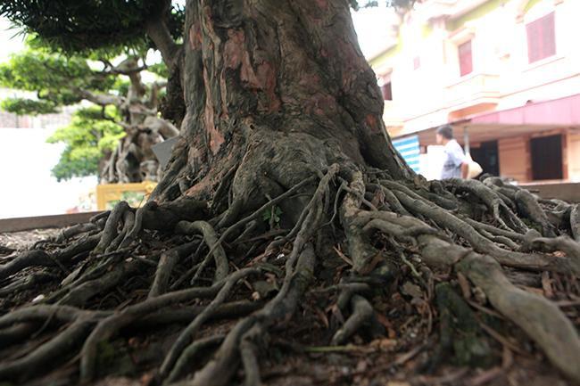 """Theo anh Toàn, hiếm có cây tùng nào có được bộ rễ như vậy, """"có tiền cũng chưa chắc sở hữu được""""."""