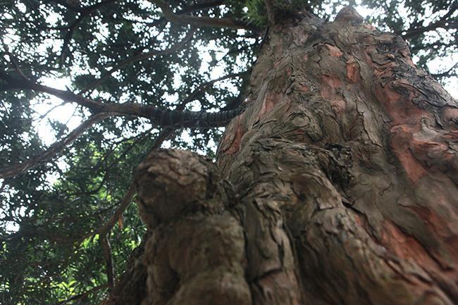 Đây là tùng ta, tự nó cứ bong vỏ ra bên trong đỏ au còn tùng ngoại thân xanh mướt. Cây có thân nổi u cục chứng tỏ cây nhiều năm tuổi.