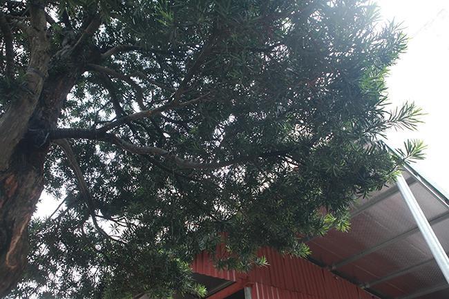 Cây có lá xanh quanh năm.