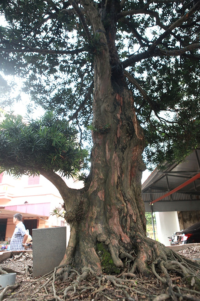 """Chủ nhân của """"siêu cây"""" tùng la hán cho biết, cây có giá khoảng hơn 1 triệu đô la Mỹ (hơn 23 tỷ đồng)."""