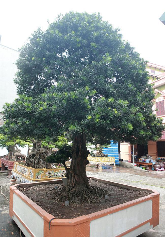Anh Toàn cho biết, đây là cây tùng la hán Việt Nam hay còn gọi là tùng ta cổ. Cây có tuổi đời hơn 300 năm.