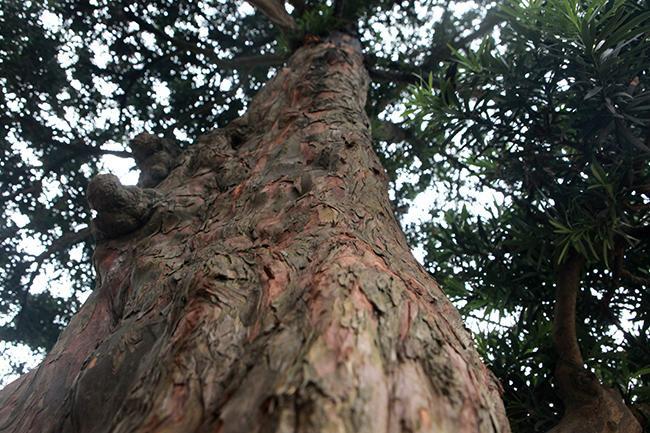 """Cây tùng có đường kính gốc khoảng 60cm, cao 4,5m, bông tán tự nhiên. Cây có dáng """"độc trụ kình thiên - cây gậy chống trời""""."""