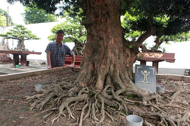 Ông Đặng Huy Huỳnh - Chủ tịch hội đồng cây di sản Việt Nam cho biết, cây tùng cổ này có giá trị về lịch sử và giá trị của đất nước. Đó là một di sản của thiên nhiên, mọi người phải có trách nhiệm bảo vệ