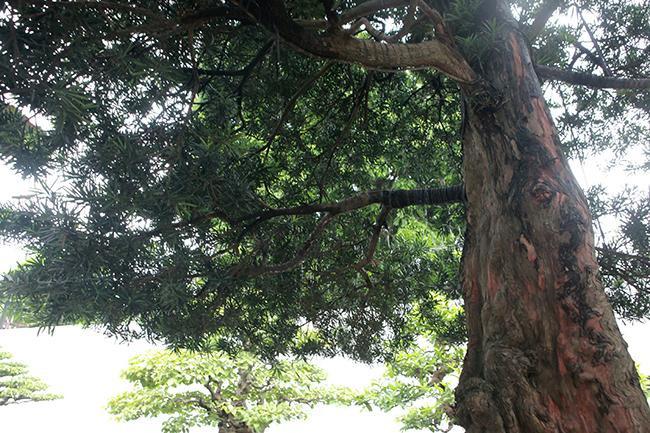 Năm 2015, cây được công nhận là cây di sản Việt Nam.