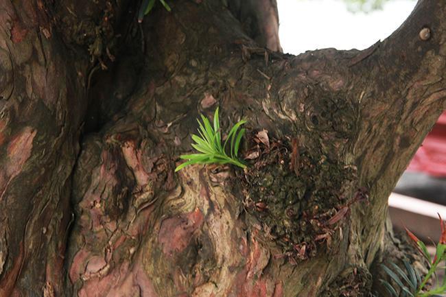 """Theo anh Toàn, những cây quý như thế này có tiền chưa chắc đã mua được. """"Cây này chọn về với ai là cả một vấn đề, mình có duyên, may mắn mình mua được"""", anh nói."""