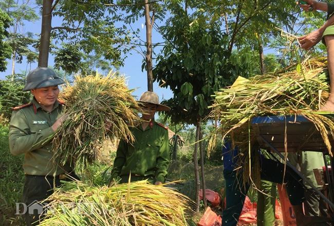 50 sỹ quan Công an Yên Bái mướt mồ hôi gặt lúa giúp nông dân ảnh 1