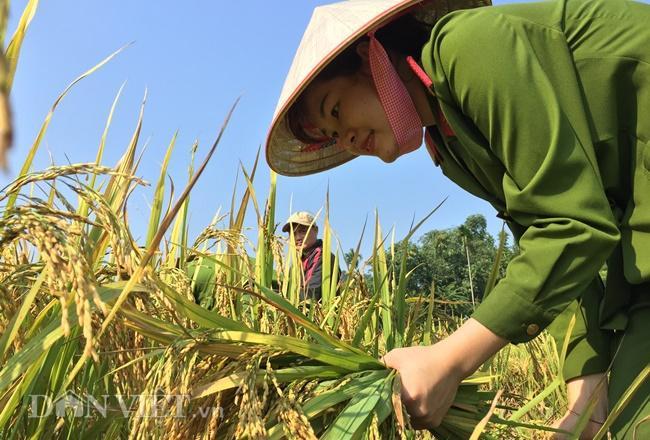 """Thực hiện """"Ngày thứ Bảy cùng dân"""", các cán bộ, chiến sĩ Công an huyện Lục Yên, Yên Bái giúp người dân gặt lúa."""