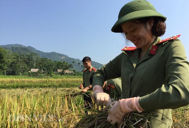 50 sỹ quan Công an Yên Bái mướt mồ hôi gặt lúa giúp nông dân ảnh 4