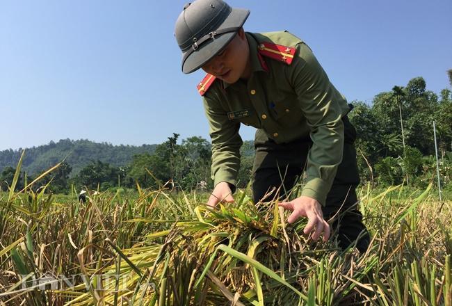 Mặc mồ hôi ướt đẫm cảnh phục, hàng chục chiến sĩ Công an huyện Lục Yên vẫn làm việc hăng say, không ngại vất vả giúp người dân gặt lúa.