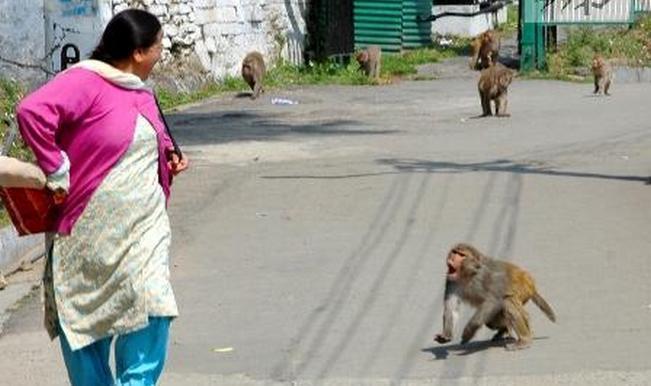 Từ cuối năm ngoái trở lại đây, tình trạng loài linh trưởng tấn công người dân tại tiểu bangUttar Pradesh bỗng xảy ra và ngày một nghiêm trọng. Ảnh: India.com.