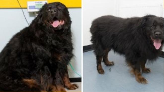 Sau khi được cô chủ Leslie giải cứu và mang về chăm sóc rồi cho đi tập gym, Hooch đã giảm được 12,5 kg.