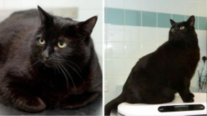 Cậu chàng Boycus là chú mèo duy nhất trong nhà bị béo phì. Hồi xưa Boycus chỉ nằm và lăn được thôi vì nặng quá. Giờ cậu đã đứng được lên cân đây này!