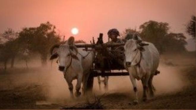 Chiếc xe bò lao vội trong ánh hoàng hôn đỏ rực, ấm áp ở vùng Bagan, miền đất Phật thiêng liêng của Myanmar.