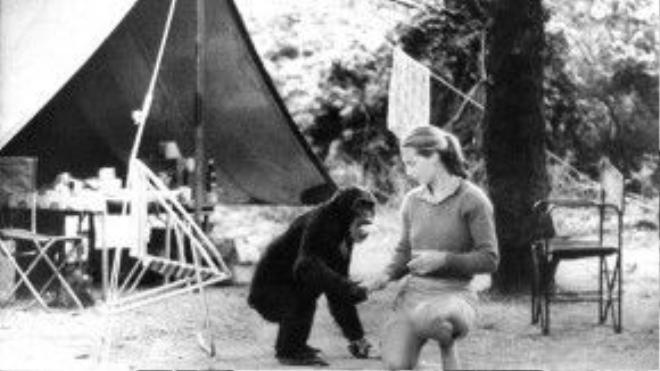 """Sau khi được trở thành một trong ba """"thiên thần"""" nghiên cứu khoa học được Louis Leaky dìu dắt, Jane được Louis gửi tới làm việc tại Công viên Quốc Gia Gombe Stream, Tanzania."""