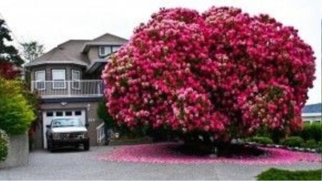 Cả góc trời bừng sáng nhờ sắc hồng rực rỡ của cây đỗ quyên 125 tuổi.