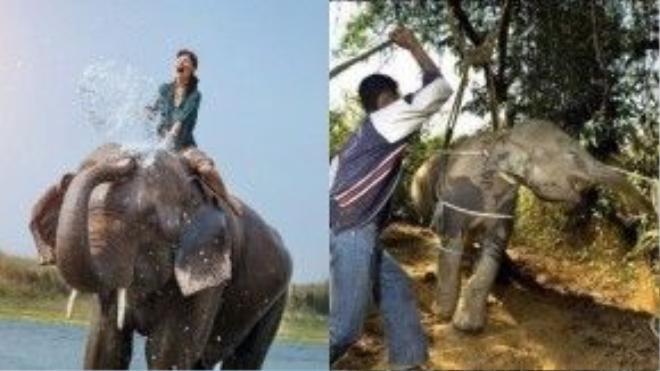 Trải nghiệm cưỡi voi: Đằng sau chuyến du lịch trên lưng voi là bao câu chuyện không mấy dễ chịu của những chú voi được thuần hóa.