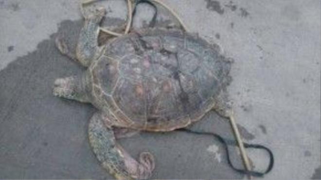 Con vích nặng 39,5 kg là động vật quý hiếm, nguy cấp cần được bảo vệ. Ảnh: Minh Cương