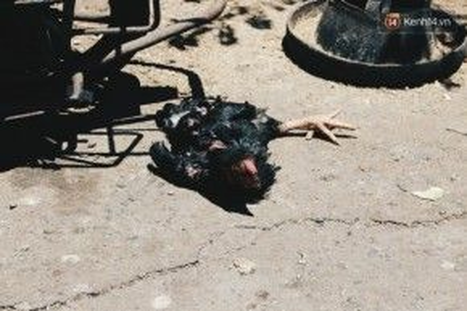 """Một chú gà trống """"ngất xỉu"""" vì nắng."""