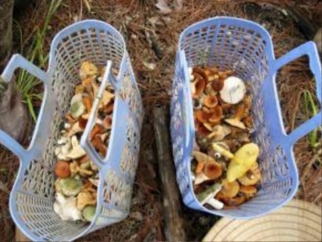 Vào mùa mưa, người dân Đà Lạt vào rừng thông hái nấm đem về ăn hoặc bán.
