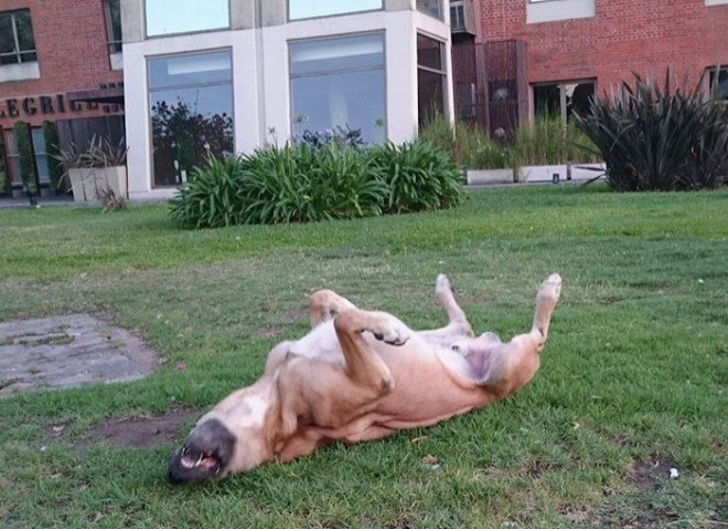 Chú chó đi hoang Rubio ngày nào giờ đã sống cũng gia đình Sievers và 2 chú chó khác.