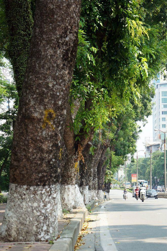 Nhiều cây đại thụ ở đoạn đường này rất lớn, có cây có đường kính lên đến hơn 100cm.Dự kiến, trong vòng khoảng 3 tháng, toàn bộ số cây trên đường Kim Mã sẽ được dịch chuyển về vườn ươm. Riêng cây đa trước cửa đền Voi Phục sẽ không bị di chuyển mà chỉ cắt tỉa cành cho gọn sao cho thuận lợi cho việc thi công xây dựng tuyến đường sắt.